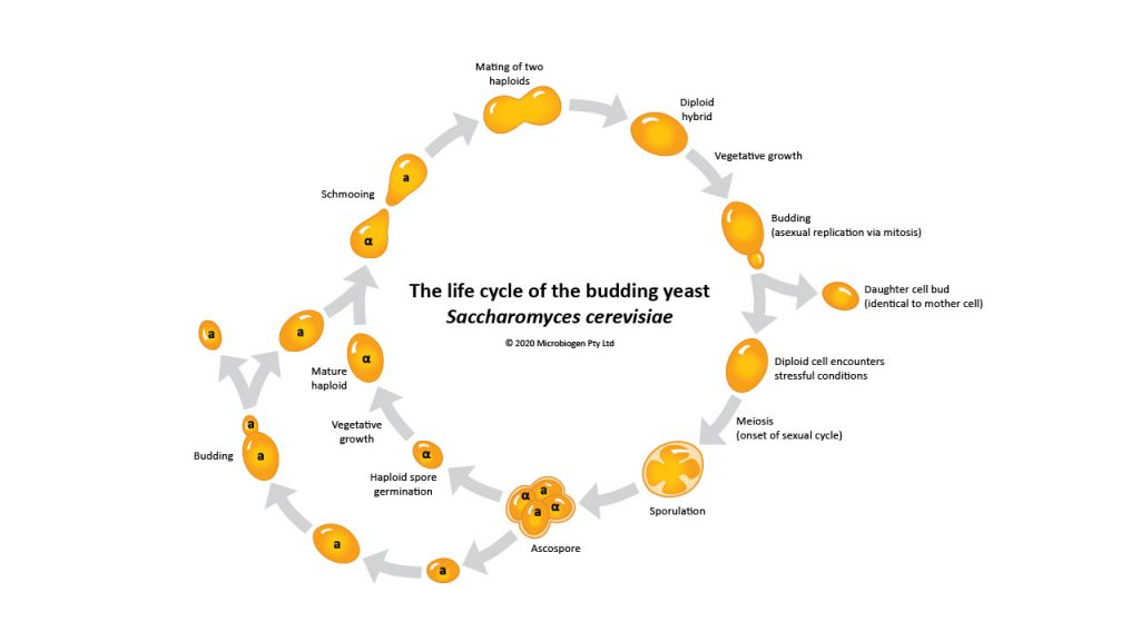 Click to view the yeast life cycle